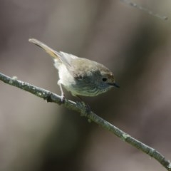Acanthiza pusilla (Brown Thornbill) at Penrose - 30 Oct 2011 by NigeHartley
