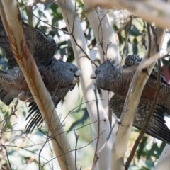 Callocephalon fimbriatum (Gang-gang Cockatoo) at Penrose, NSW - 19 May 2019 by NigeHartley