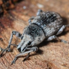 Polyphrades paganus (A weevil) at Black Mountain - 8 Aug 2019 by Harrisi