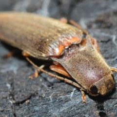 Conoderus sp. (genus) (Click beetle) at Black Mountain - 8 Aug 2019 by Harrisi