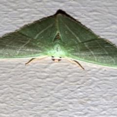 Metallochlora neomela (An Emerald moth) at Lilli Pilli, NSW - 8 Aug 2019 by jbromilow50