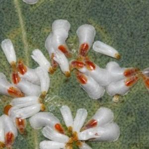 Pulvinaria sp. (genus) at ANBG - 8 Aug 2019