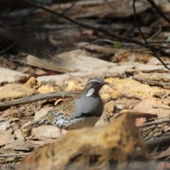 Cinclosoma punctatum (Spotted Quail-thrush) at Upper Nepean State Conservation Area - 7 Aug 2019 by Magpie