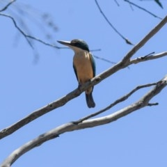 Todiramphus sanctus (Sacred Kingfisher) at Penrose - 25 Dec 2018 by NigeHartley
