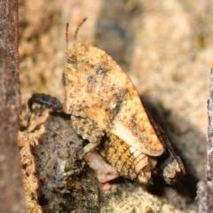 Tetrigidae (family) (Groundhopper or Pygmy grasshopper) at Black Mountain - 7 Aug 2019 by Harrisi