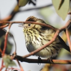 Pyrrholaemus sagittatus (Speckled Warbler) at Tuggeranong DC, ACT - 9 Aug 2019 by HelenCross
