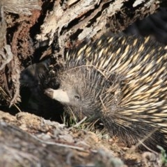 Tachyglossus aculeatus (Short-beaked Echidna) at Red Hill Nature Reserve - 11 Aug 2019 by LisaH