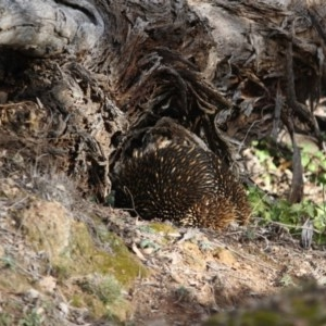 Tachyglossus aculeatus at Red Hill Nature Reserve - 11 Aug 2019