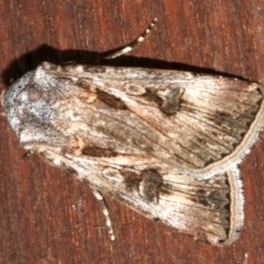 Agrotis munda (Brown Cutworm) at Lilli Pilli, NSW - 9 Aug 2019 by jbromilow50