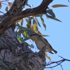Pardalotus striatus (Striated Pardalote) at Red Hill Nature Reserve - 12 Aug 2019 by JackyF