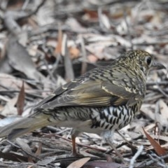 Zoothera lunulata (Bassian Thrush) at ANBG - 4 Jul 2019 by HelenCross