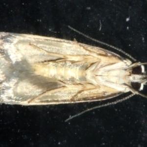 Compsotropha strophiella at Lilli Pilli, NSW - 10 Aug 2019