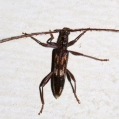 Coptocercus rubripes (Longhorn beetle) at Lilli Pilli, NSW - 8 Aug 2019 by jbromilow50