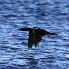 Phalacrocorax sulcirostris (Little Black Cormorant) at Batemans Marine Park - 9 Aug 2019 by jbromilow50