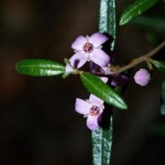 Boronia ledifolia (Ledum Boronia) at - 7 Aug 2019 by Boobook38