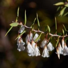 Leucopogon setiger (A Beard Heath) at Bundanoon, NSW - 1 Aug 2019 by Boobook38