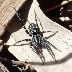 Nyssus albopunctatus (White-spotted swift spider) at Mount Painter - 12 Aug 2019 by CathB