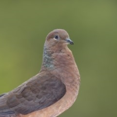 Macropygia (Macropygia) amboinensis (Brown Cuckoo-dove) at Merimbula, NSW - 13 Aug 2019 by Leo
