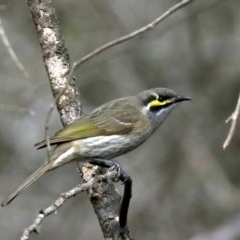 Caligavis chrysops (Yellow-faced Honeyeater) at Lilli Pilli, NSW - 10 Aug 2019 by jbromilow50