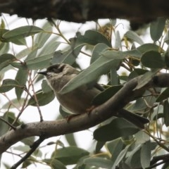 Melithreptus brevirostris (Brown-headed Honeyeater) at Mulligans Flat - 14 Aug 2019 by Alison Milton