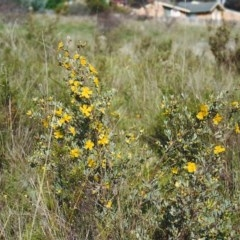 Hibbertia obtusifolia (Grey Guinea-flower) at Conder, ACT - 16 Oct 1999 by michaelb