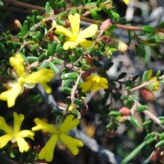 Hibbertia empetrifolia subsp. empetrifolia at One Track For All - 3 Oct 2014 by NicholasdeJong