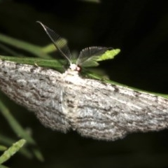 Phelotis cognata (Long-fringed Bark Moth) at Lilli Pilli, NSW - 10 Aug 2019 by jbromilow50