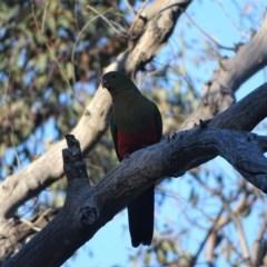 Alisterus scapularis (Australian King-Parrot) at Mount Mugga Mugga - 2 Aug 2019 by Mike