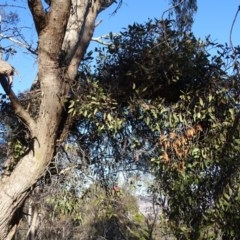 Muellerina eucalyptoides (Creeping Mistletoe) at Isaacs Ridge and Nearby - 14 Aug 2019 by Mike
