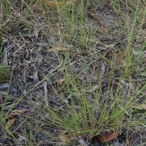 Eragrostis brownii at Currowan State Forest - 28 Feb 2019