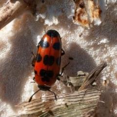 Episcaphula australis (Fungus beetle) at Jerrabomberra Wetlands - 16 Aug 2019 by rawshorty