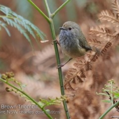 Acanthiza pusilla (Brown Thornbill) at Wairo Beach and Dolphin Point - 3 Aug 2019 by CharlesDove