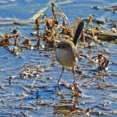 Malurus cyaneus at Jerrabomberra Wetlands - 15 Aug 2019
