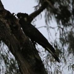 Zanda funereus (Yellow-tailed Black-Cockatoo) at Macarthur, ACT - 16 Aug 2019 by RodDeb