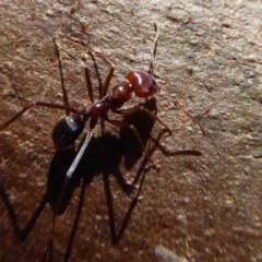 Iridomyrmex purpureus (Meat Ant) at Woodstock Nature Reserve - 15 Aug 2019 by Christine