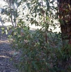 Brachychiton populneus subsp. populneus (Kurrajong) at Watson Woodlands - 17 Aug 2019 by danswell