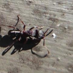 Rhytidoponera sp. (genus) (Rhytidoponera ant) at ANBG - 16 Aug 2019 by Christine
