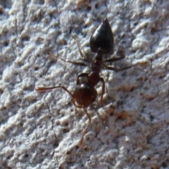Crematogaster sp. (genus) (Acrobat ant, Cocktail ant) at ANBG - 16 Aug 2019 by Christine