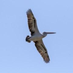 Pelecanus conspicillatus (Australian Pelican) at Gungahlin Pond - 15 Aug 2019 by Alison Milton