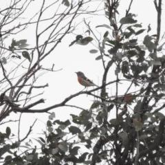 Petroica boodang (Scarlet Robin) at Namadgi National Park - 22 Apr 2018 by YumiCallaway