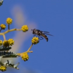 Melangyna viridiceps (Hover fly) at Mount Majura - 16 Aug 2019 by kdm