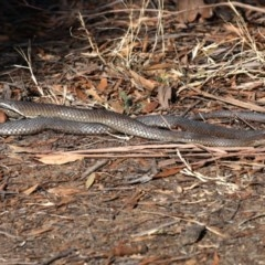 Pseudonaja textilis (Eastern Brown Snake) at Jerrabomberra Wetlands - 17 Aug 2019 by jbromilow50