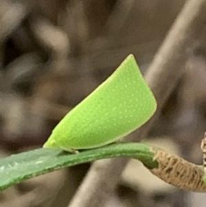 Siphanta sp. (genus) at Berry, NSW - 18 Aug 2019