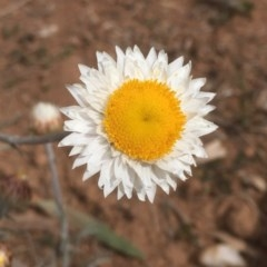 Leucochrysum albicans subsp. tricolor (Hoary Sunray) at Griffith Woodland - 30 Aug 2019 by AlexKirk