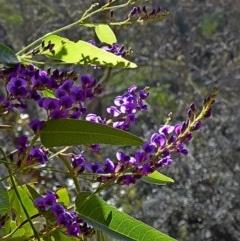 Hardenbergia violacea at Brogo, NSW - 19 Aug 2019