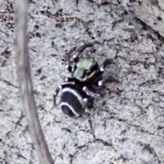 Omoedus marginatus (Jumping spider) at Mount Painter - 18 Aug 2019 by CathB