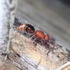 Mutillidae sp. (family) (Unidentified 'velvet ant') at Mount Painter - 16 Aug 2019 by CathB