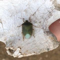 Nezara viridula (Green vegetable bug) at Stromlo, ACT - 18 Aug 2019 by AndrewCB