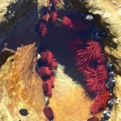 Actinia tenebrosa (Red Waratah Anemone) at Murramarang National Park - 11 Aug 2019 by AndrewCB