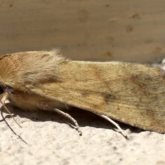 Helicoverpa punctigera at Ainslie, ACT - 19 Aug 2019